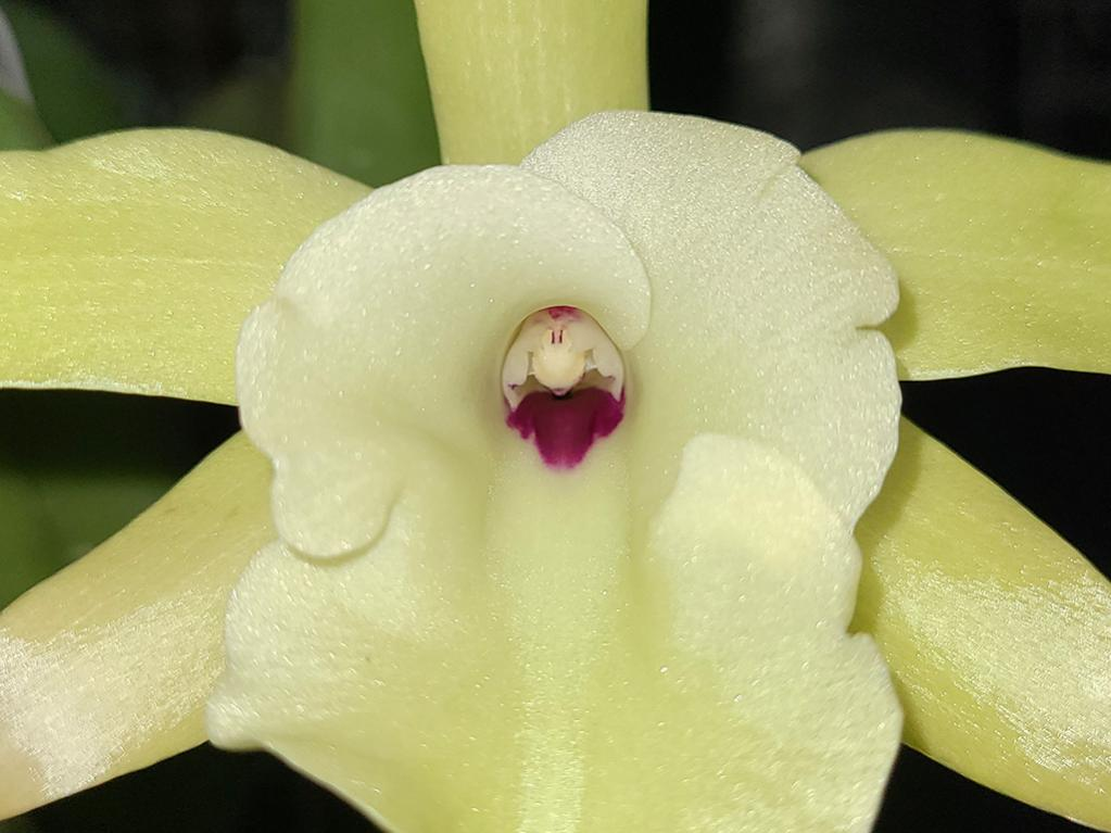 Rhyncholaelia glauca - the first ever bloom!-glauca-3-jpg