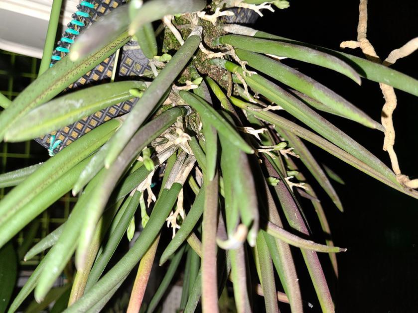 Leptotes bicolor bud watch-bicolor2-jpg