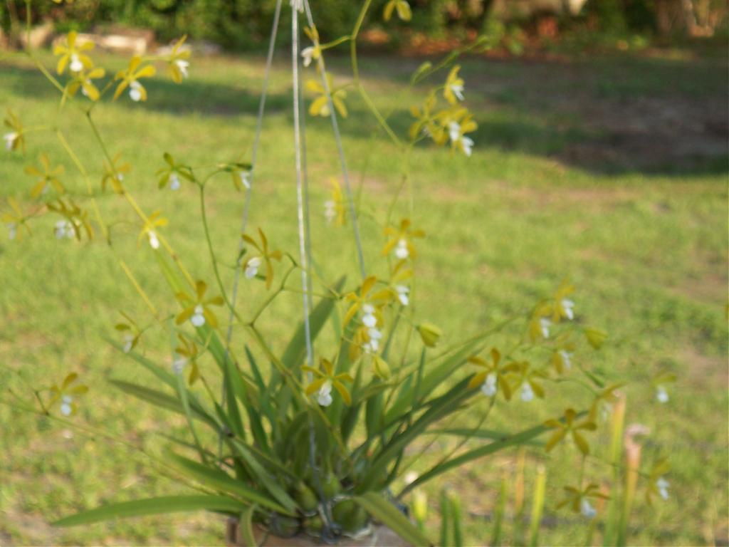 Encyclia Tampensis var alba 'Mendenhall'-100_1177-jpg