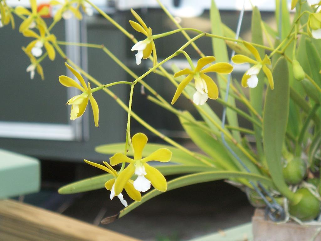 Encyclia Tampensis var alba 'Mendenhall'-100_1178-jpg
