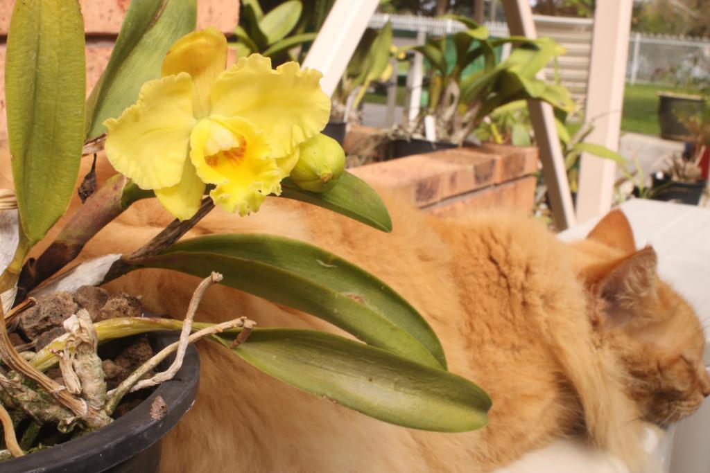ginger cat-rth-dals-emperor-allan_2_11-sept2021-jpg