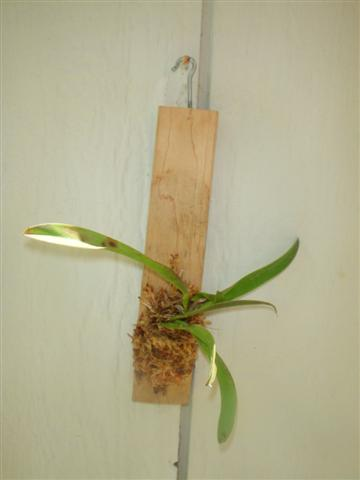 Pictures of your orchids mounted on wood.....-200806bonsai-001-jpg