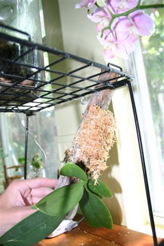 Pictures of your orchids mounted on wood.....-200806plant-021-jpg