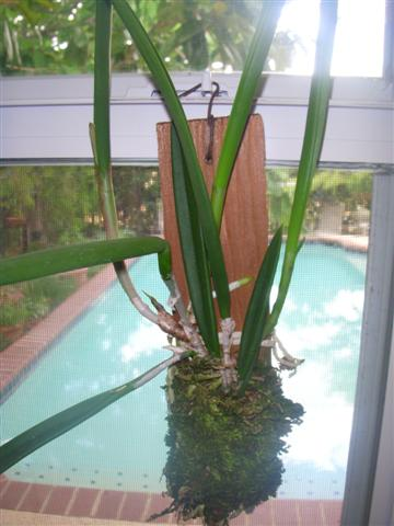 Pictures of your orchids mounted on wood.....-200806neworchid-003-jpg