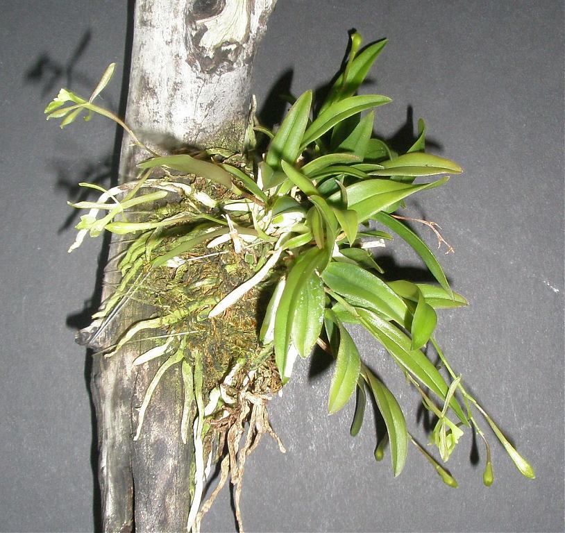 Epidendrum conopseum-epidendrum-comopseum-jpg