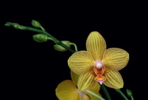 "Phal. Brother ""Golden Wish""-golden-wish-jpg"
