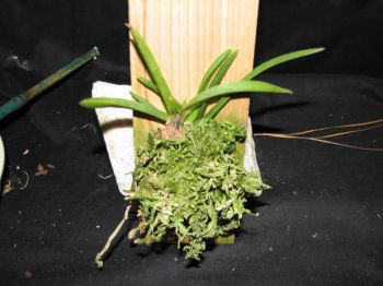 Growing Neofinetia falcata in winter months-plantdwnsz-jpg