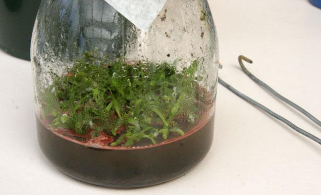 Vanda seedlings saved...I hope!-2_contaminated_seedlings1ob-jpg