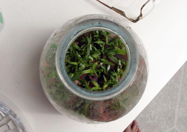 Vanda seedlings saved...I hope!-3_contaminated_seedlings2ob-jpg