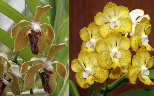 Vanda seedlings saved...I hope!-djg0045_vanda_cross-jpg