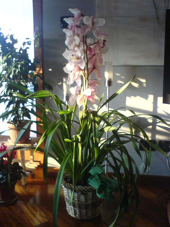 Cymbidium outside cold temperature-dsc00033-jpg