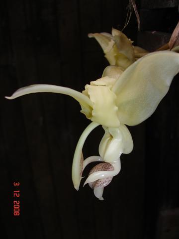 Stanhopea lietzei (no 'eye-spots')-imagem-005-jpg