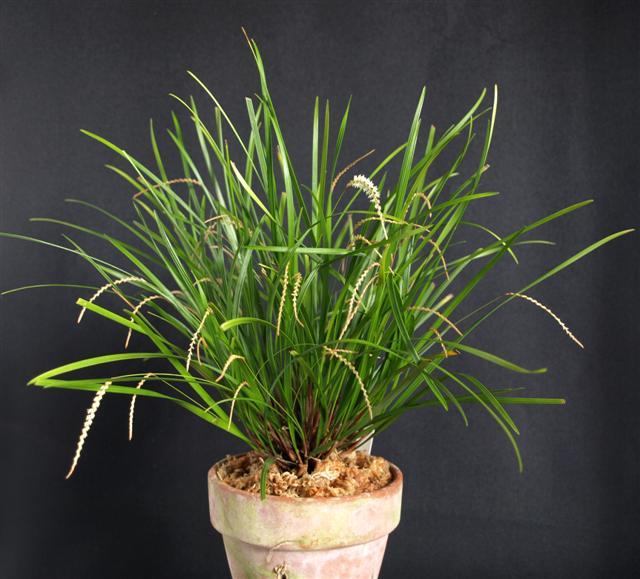 Dendrochilum stenophyllum-dendrochlium-stenophyllum-jpg