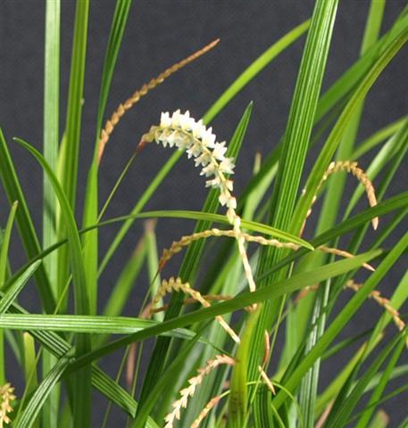 Dendrochilum stenophyllum-dendrochlium-stenophyllum-2-jpg
