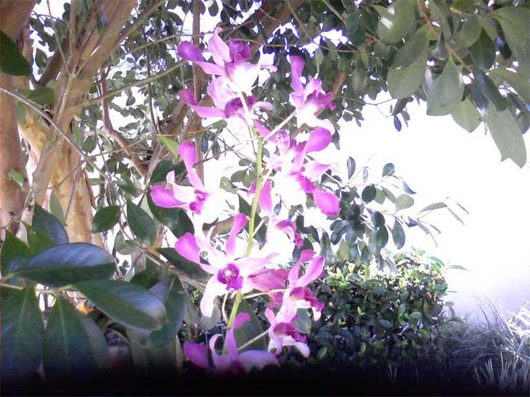Dendrobium Propagation-00-jpg