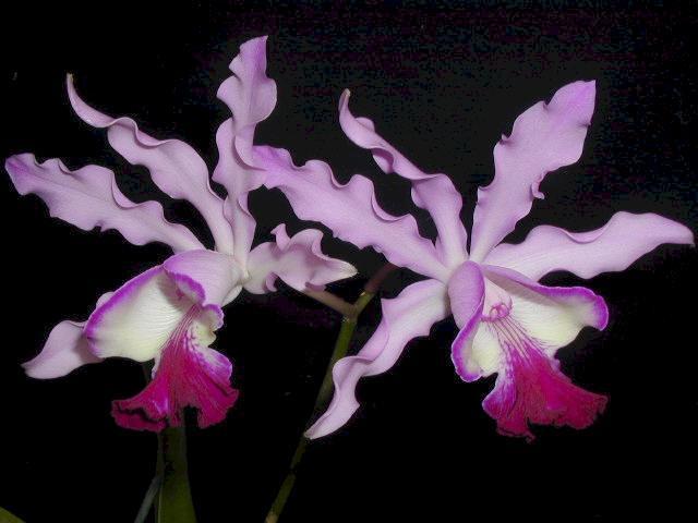 Orchid abbreviations-schombocattleya-bordighera-jpg