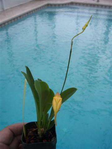 Some news regarding IN Komoda Orchids-100_9457-jpg