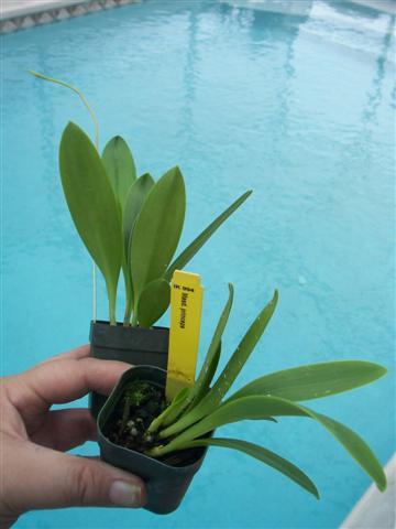 Some news regarding IN Komoda Orchids-100_9460-jpg