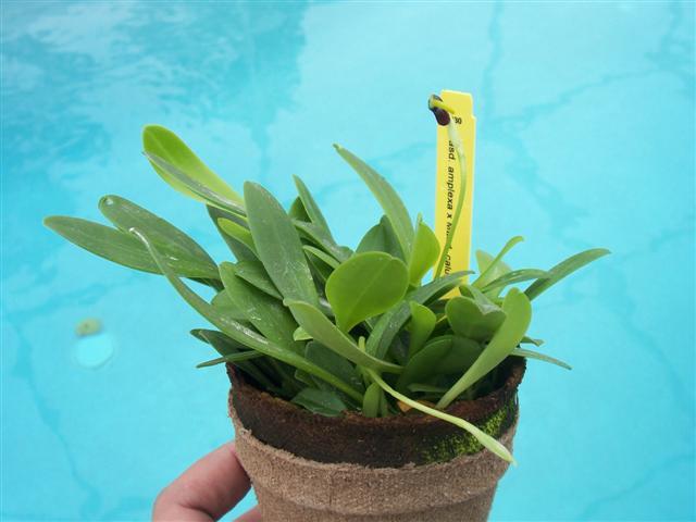 Some news regarding IN Komoda Orchids-masd-amplexa-calura-compot-jpg