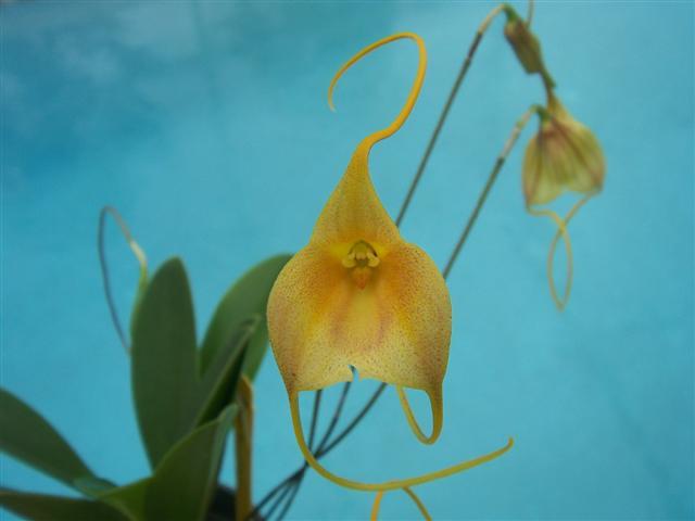 Some news regarding IN Komoda Orchids-masd-maui-prince-closeup-jpg