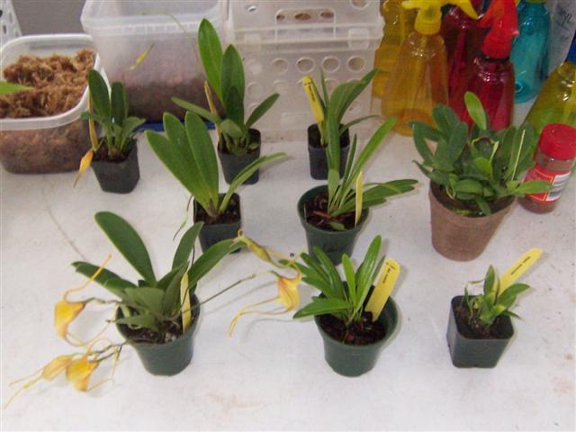 Some news regarding IN Komoda Orchids-komoda-shipment-jpg