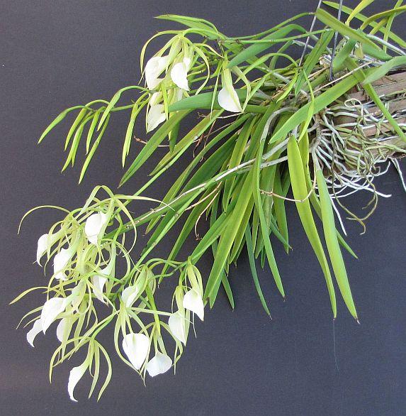 In bloom on 1/10/09-brassavola-nodosa-plant-jpg