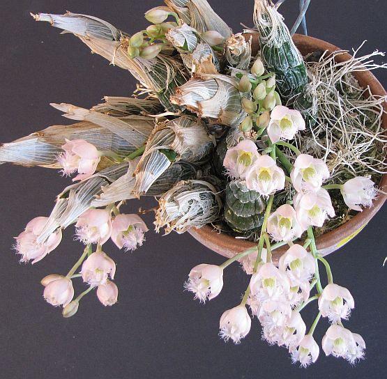 In bloom on 1/10/09-catasetum-rebecca-northen-plant-jpg