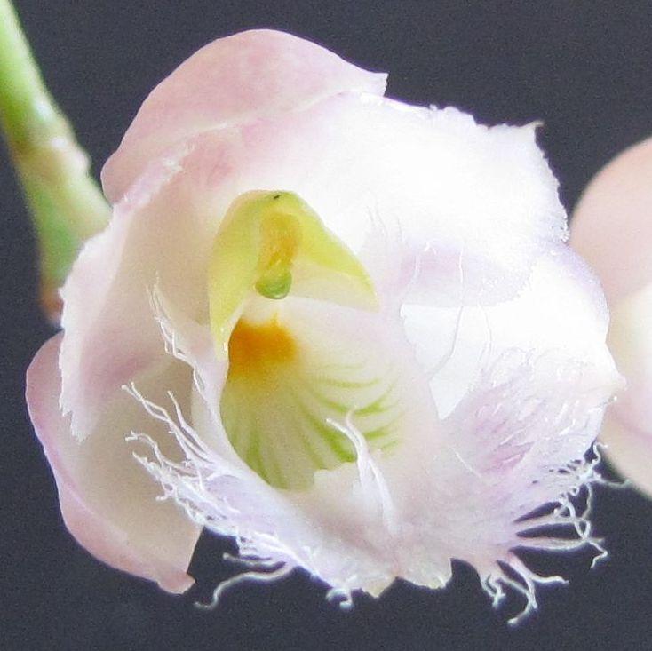 In bloom on 1/10/09-catasetum-rebecca-northen-bloom-1-jpg