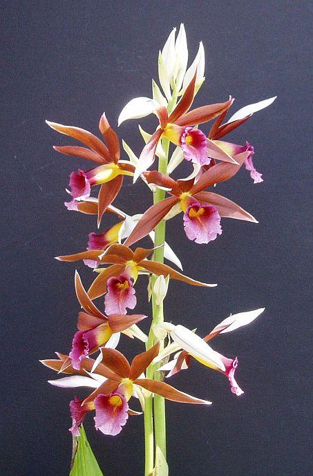 In bloom on 1/10/09-phaius-tankerville-infl-jpg