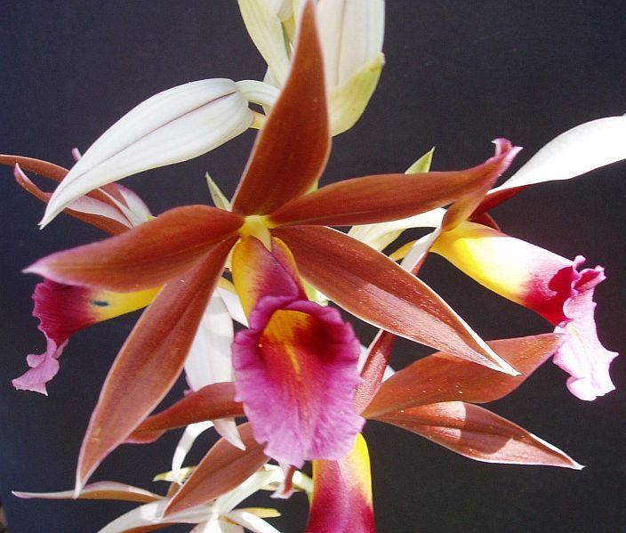 In bloom on 1/10/09-phaius-tankerville-jpg