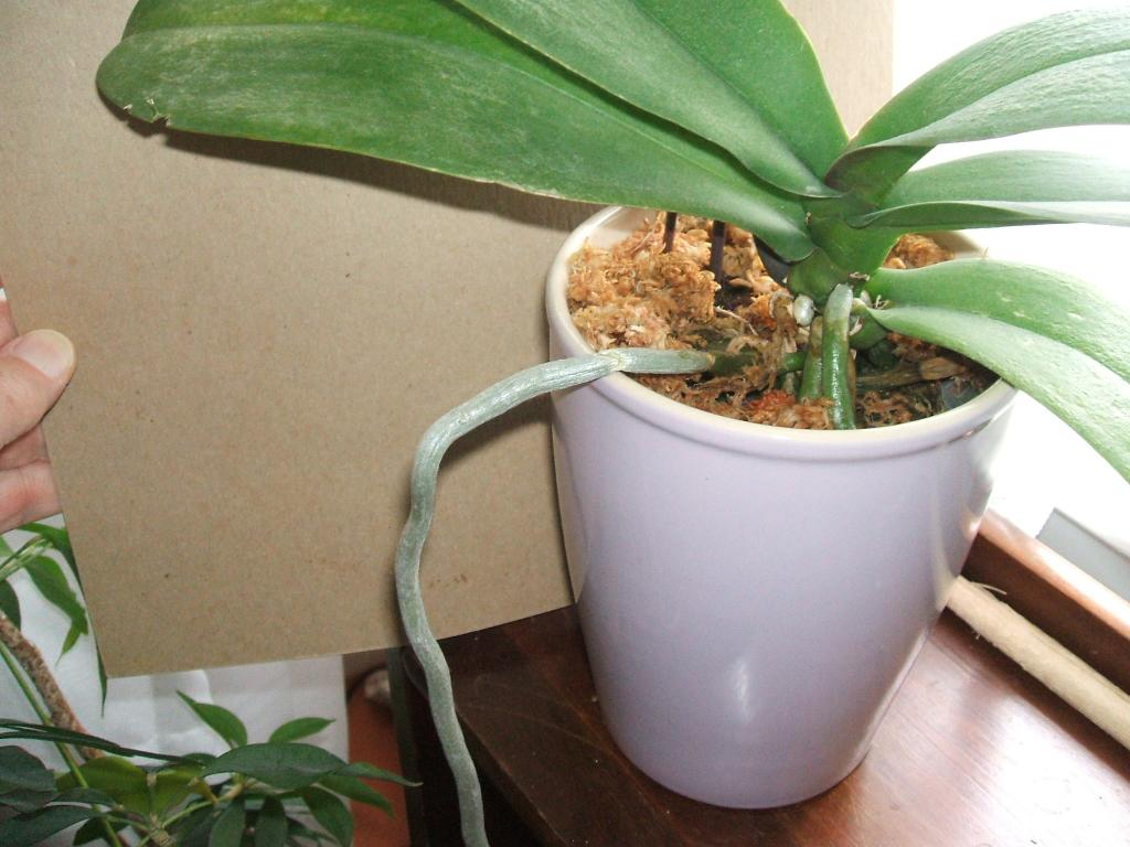 Type of pot for Phalaenopsis-orchid-roots-477-jpg