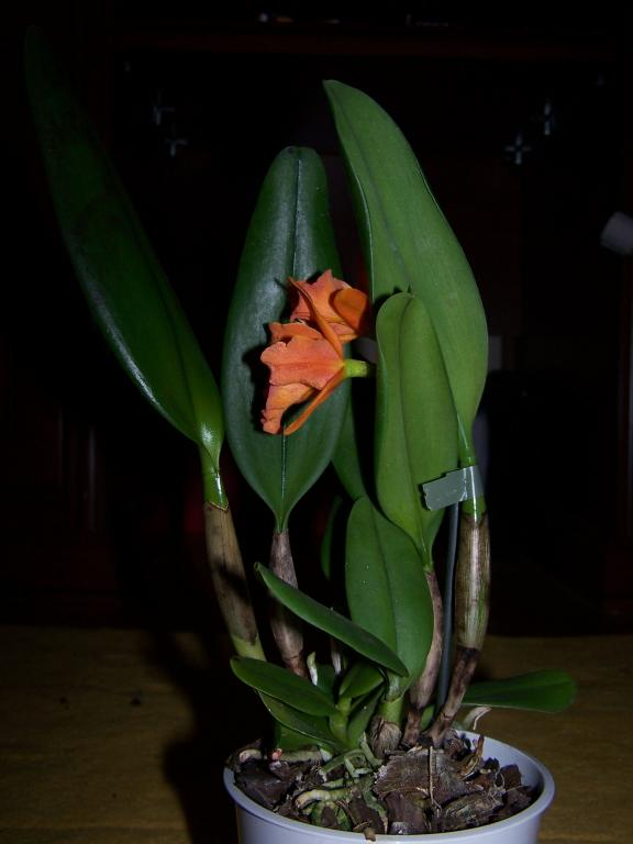 Brown spots at cattleya leaves-cattleya-008-jpg