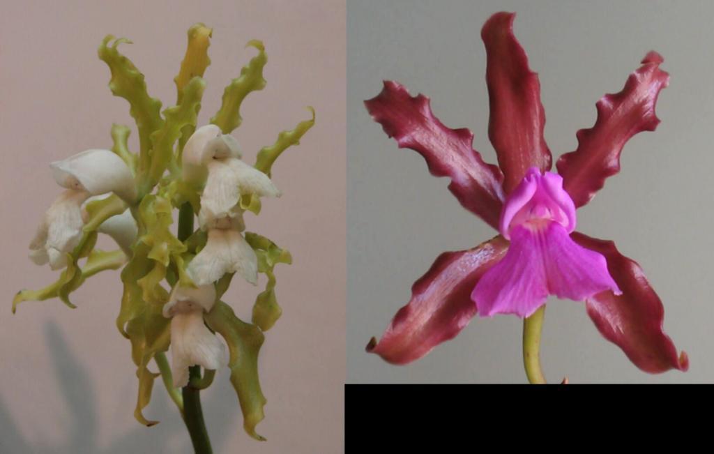 Cattleya elongata-cattleya-elongata-var-albina-type-jpg