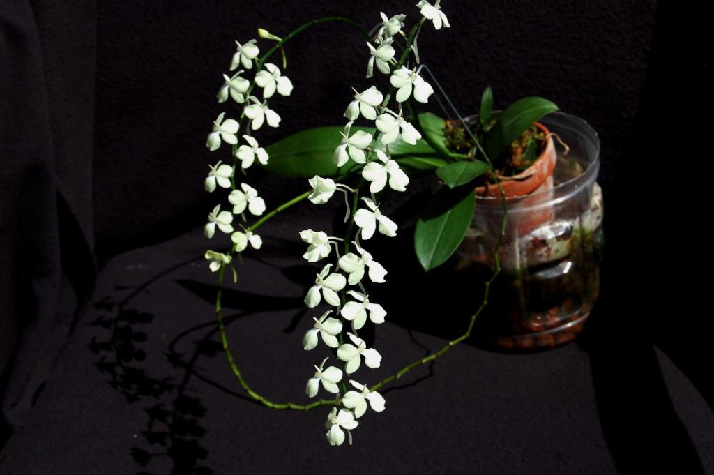 Aerangis citrata-aerangis-citrata-4-08-orl-jpg
