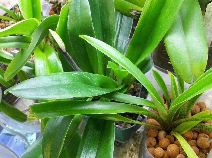 paphiopedilum in Semi-Hydroponic ??-orchids-paphs-001-jpg