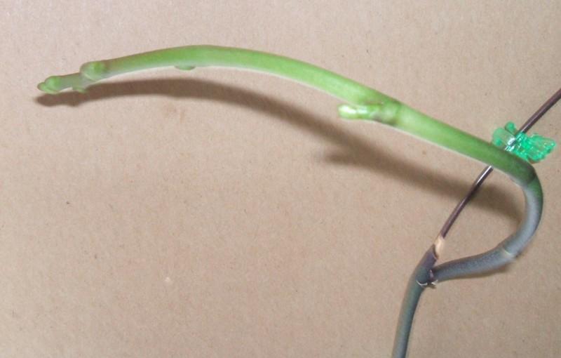 Type of pot for Phalaenopsis-t421-phal-shoots-0523-jpg