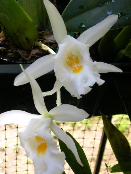 Trichopilia hennisiana-trichopliia-hennisiana-jpg
