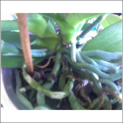 Pollinating Orchids-keiki-split-jpg