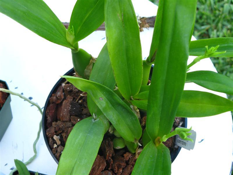 What is Encyclia 'Green Hornet' anyway?-img_3212-medium-jpg