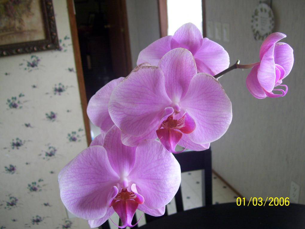 Orchid newbie..is my new orchid sick? Please help-spring09-016-jpg