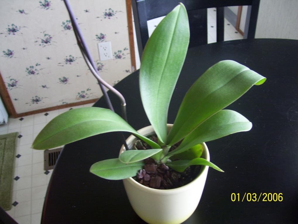 Orchid newbie..is my new orchid sick? Please help-spring09-017-jpg