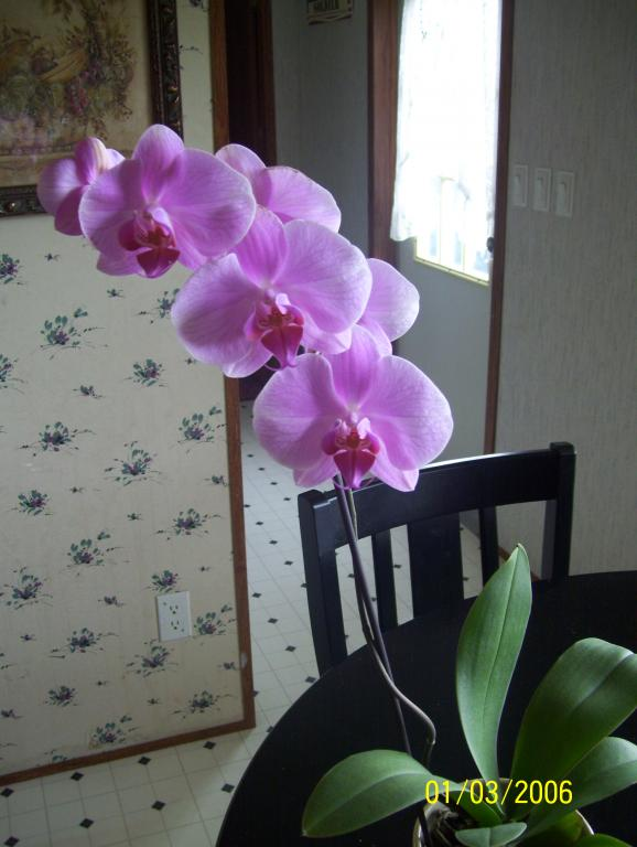 Orchid newbie..is my new orchid sick? Please help-spring09-018-jpg