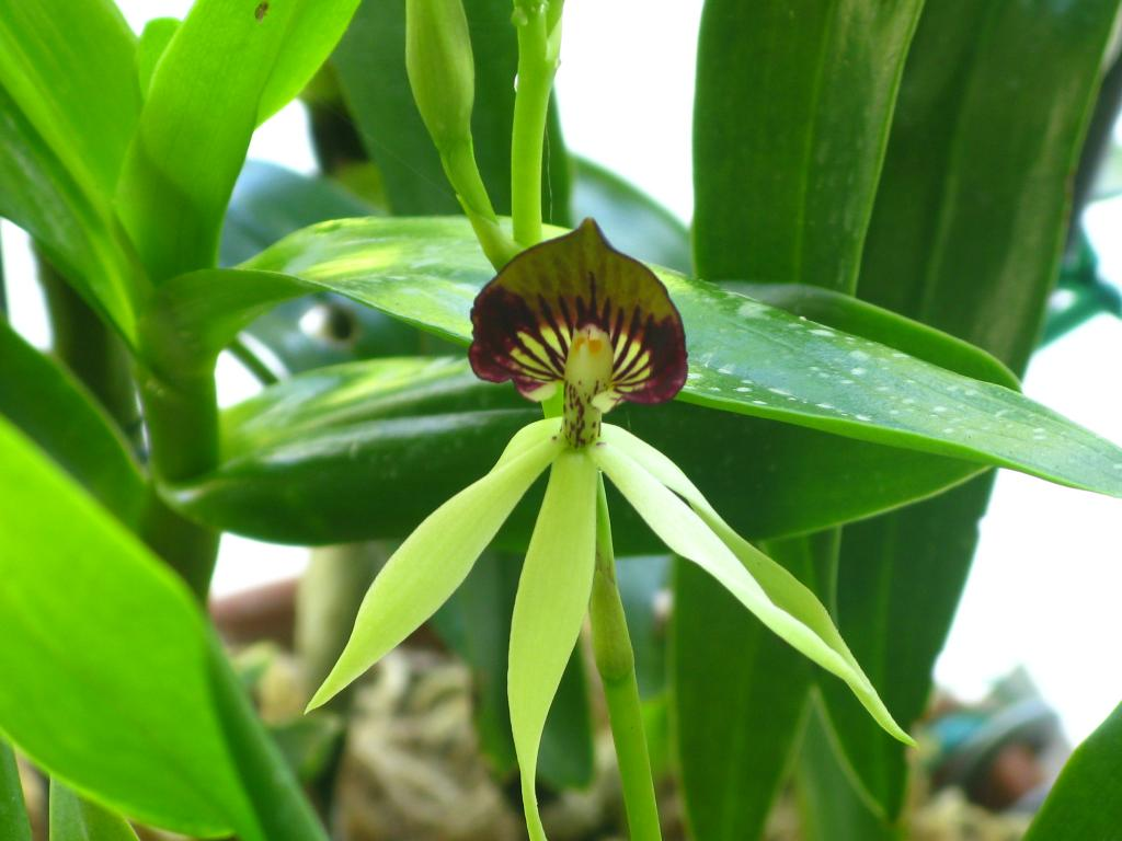 What is Encyclia 'Green Hornet' anyway?-img_3260-jpg