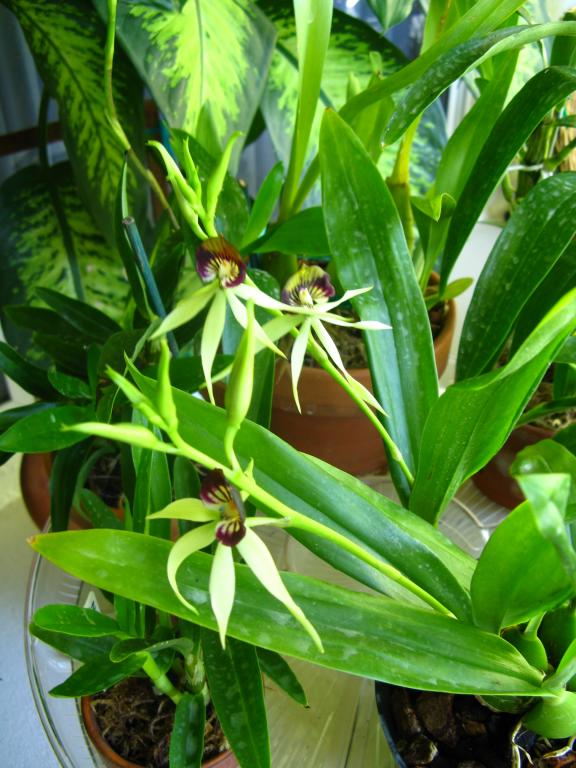What is Encyclia 'Green Hornet' anyway?-img_3278-jpg