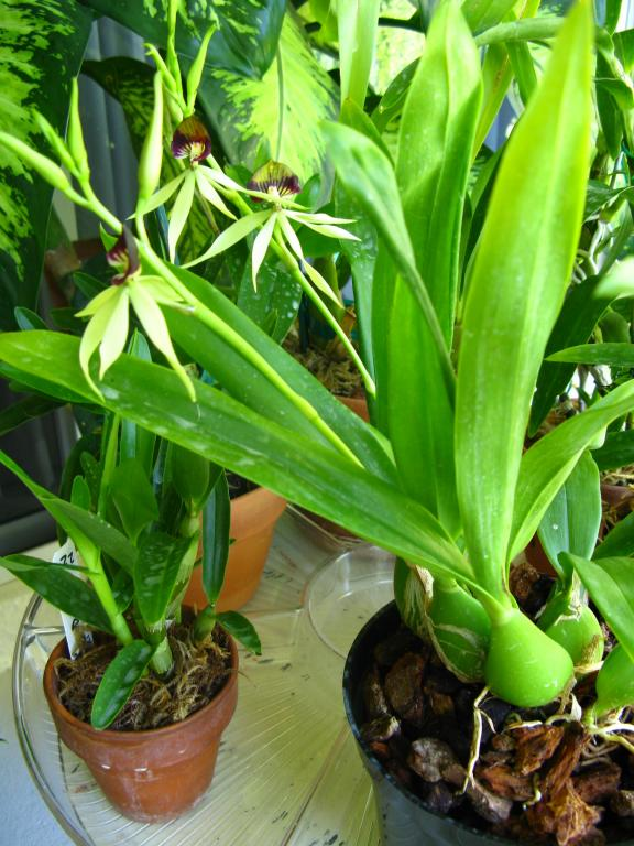 What is Encyclia 'Green Hornet' anyway?-img_3279-jpg