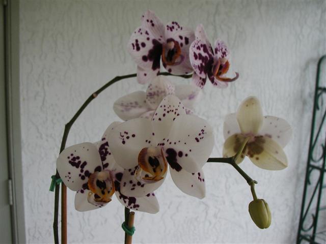 Harlequin Phalaenopsis-phal-ihsin-dalmattion1-jpg