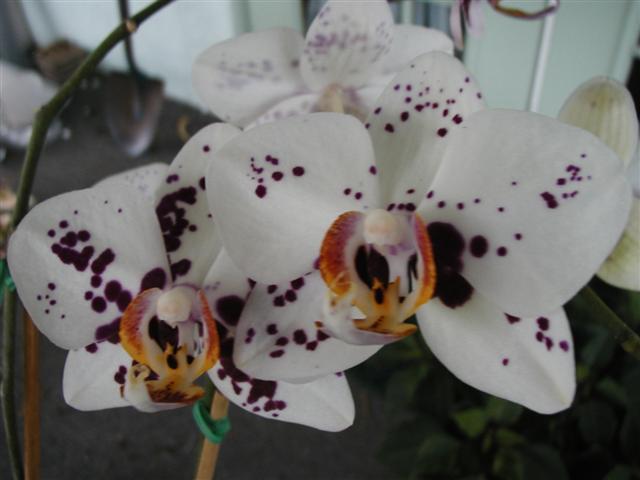 Harlequin Phalaenopsis-phal-ihsin-dalmattion-jpg