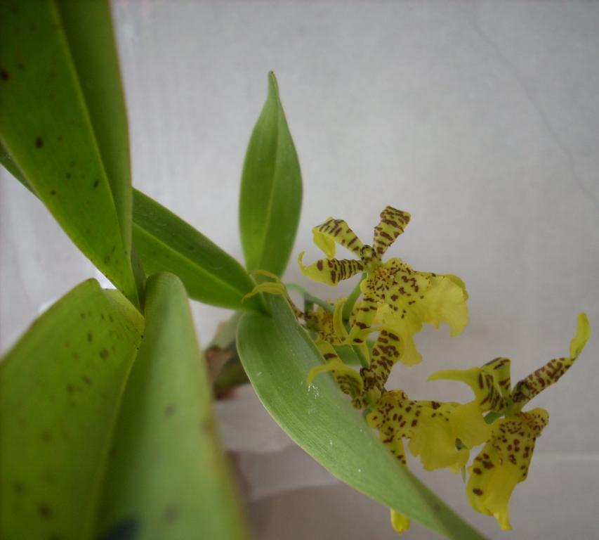 is oncidium atissimum (aka wydler's dancing lady) = golden shower?-dscn0206-jpg