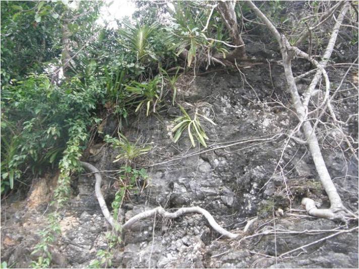 Vandopsis lissochiloides & Vanda pumila ?????-vandopsis-lissochiloides-jpg