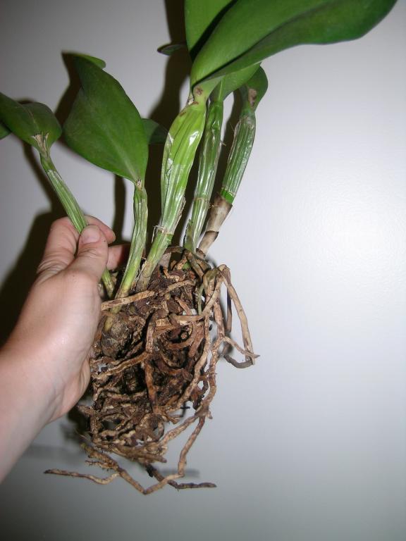 pseduo bulbs shrinking/withering - advice-dscn1268-jpg
